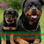 cho Rottweiler va nguyen tac khi huan luyen 4