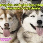 huong dan phan biet cho alaska va cho husky 2