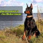 kinh nghiệm nuôi chó Kinh nghiệm nuôi và chăm sóc những chú chó Doberman