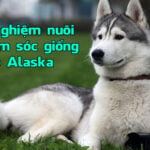 kinh nghiem nuoi va cham soc giong cho Alaska 4