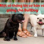 thong tin co ban ve giong cho bulldog