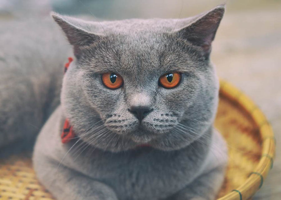 meo chartreux long